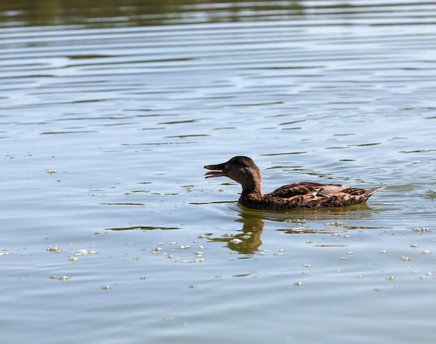 야생의 물새 들새 오리, 작고 아름다운 야생 오리, 봄이나 여름의 물새 오리