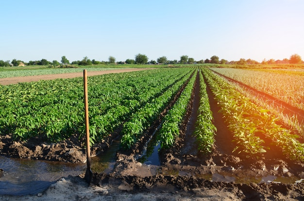 Watering of agricultural crops, countryside, irrigation, natural watering, village