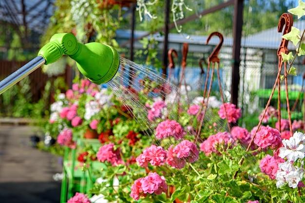 정원 중앙에 있는 펠라고늄 꽃의 물 분무기에서 물을 줍니다.