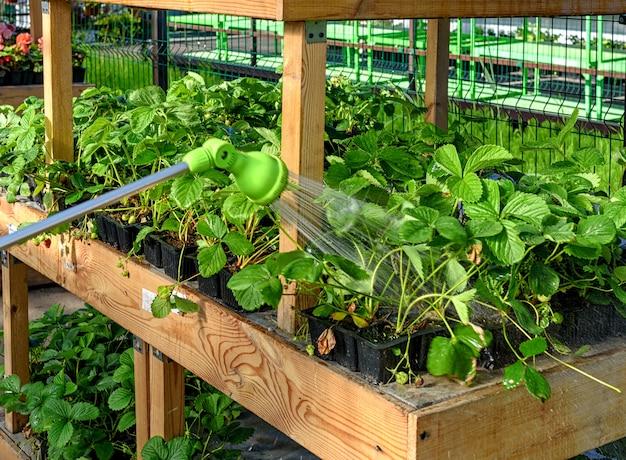정원에 있는 식물에 물을 주는 호스, 스프레이 건. 정원 센터에서 정원 딸기에 물을 줍니다.