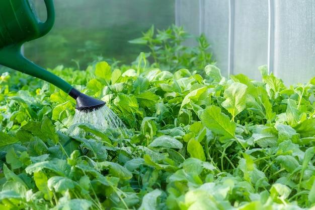 温室で有機自家栽培野菜に水をまきます。