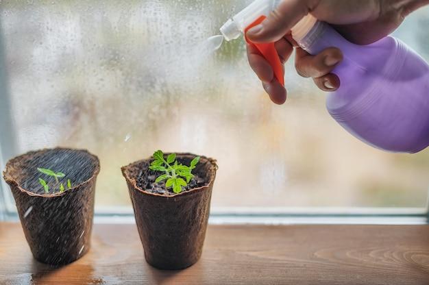 Watering pepper in peat pots on the window