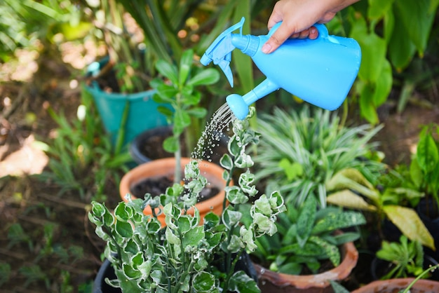 Watering plant with colorful blue watering can on pot in the garden.