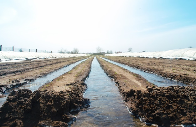 Watering rows of carrot plantations in an open way. heavy copious irrigation after sowing seeds