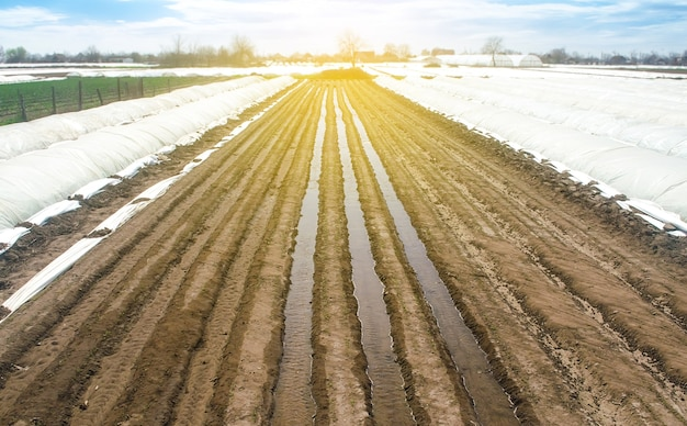 Watering rows of carrot plantations in an open way