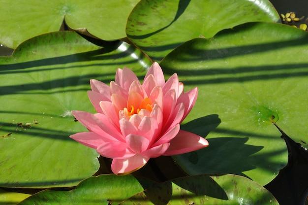 池のスイレンの花