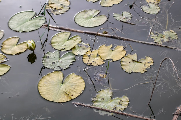 Waterlily leaves in small lake at sunset.