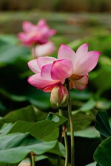 夏の池のスイレンやハスの花。