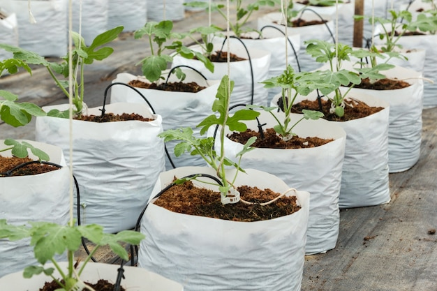 Watermelon cultivation in greenhouse