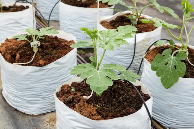 Watermelon cultivation in plastic bag