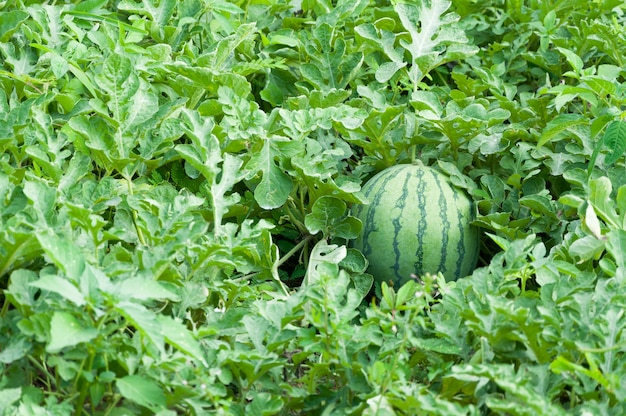 Watermelon on the green watermelon plantation in the summer, agricultural watermelon field