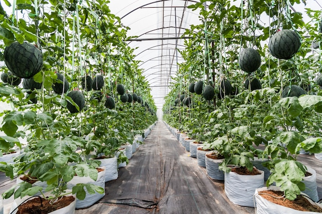 Watermelon in greenhouse