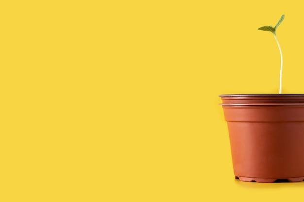 黄色の背景の鍋で成長しているスイカの種まき