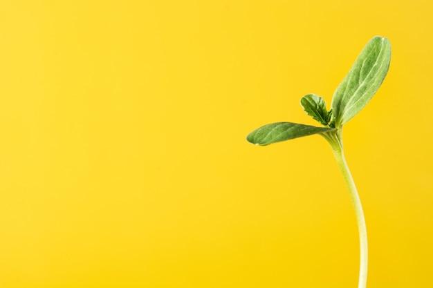 黄色の背景に成長するスイカの種まき