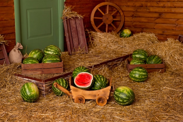 Watermelons in a cart in the hay on a rural yard. summer harvesting watermelons.