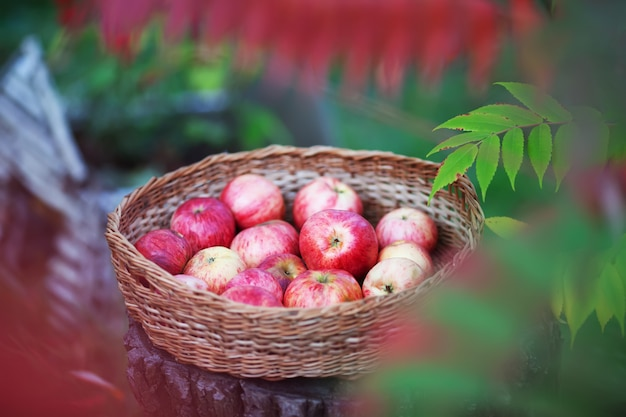 Wattled basket of red apples against the nature an autumn time