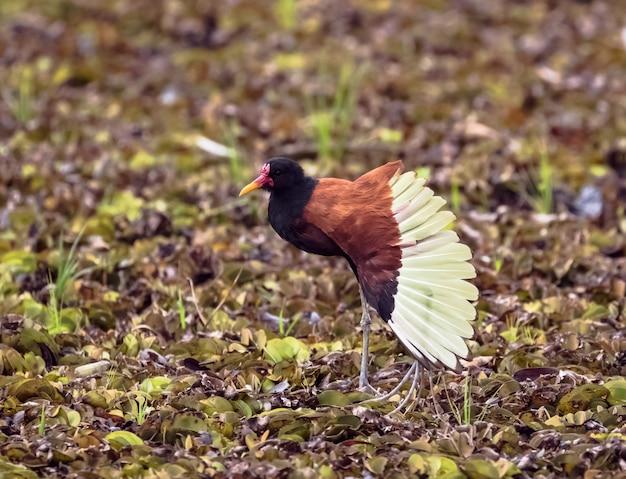Плетеная якана встала и расправила крылья в сухом пруду