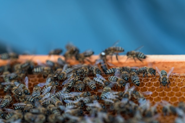 ミツバチの巣箱の蜂蜜生産におけるワックスフレーム