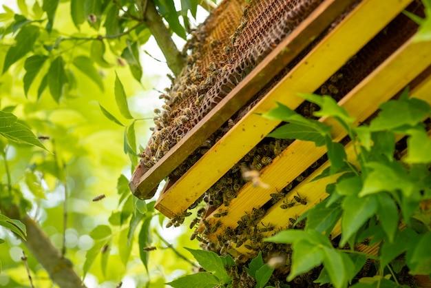 벌집에 꿀과 많은 벌을 바르십시오. 올해의 따뜻한 계절에 양봉장, 정원에 있는 양봉장.
