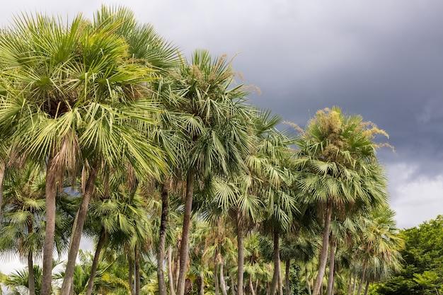 왁스 야자수 또는 카르나우바, 브라질 북동부가 자생하는 식물