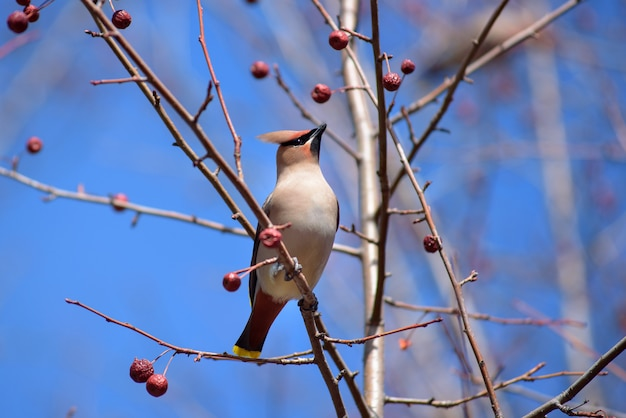 The waxwing on apple tree branch. early spring. siberia.