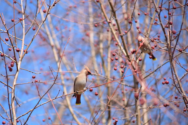 The waxwing on apple tree branch.