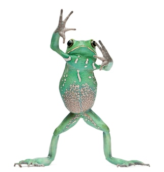 Waxy monkey leaf frog phyllomedusa sauvagii standing in front of white background
