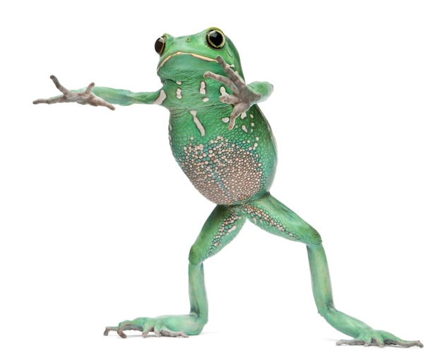 Waxy monkey leaf frog phyllomedusa sauvagii стоит перед белым фоном