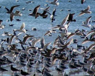 Way too many gulls