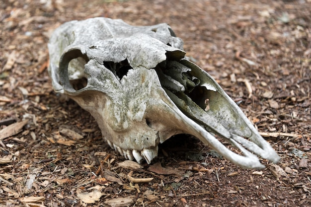 Weathered skull of a dead horse in the forest an old horse skull lies on the ground bone skull with teeth