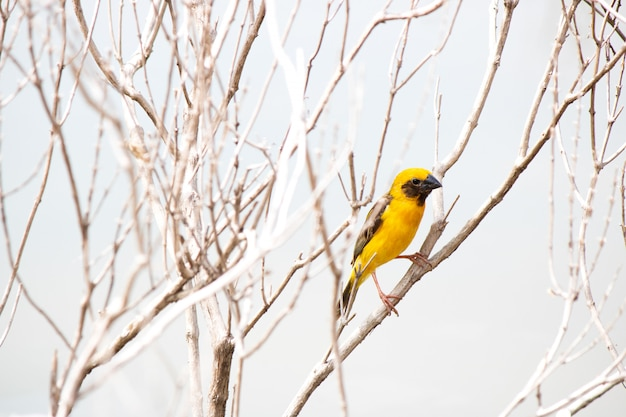 Weaver bird  hold on dry branch tree