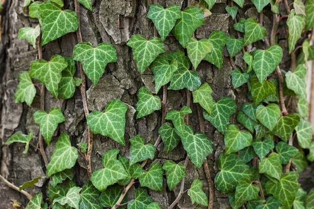 Weaving ivy on the bark of an old tree. natural texture, , close-up.