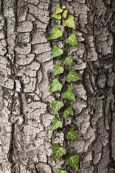 Плетение плюща на коре старого дерева. естественная текстура, крупный план.