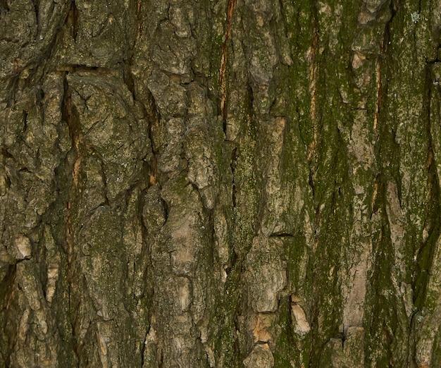 木の樹皮のテクスチャ-アカシア。 webページの塗りつぶしまたはグラフィックデザインの壁。パターン。 3dテクスチャのマップ。木製