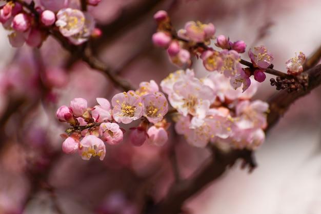 庭に咲くアプリコット。グリーティングカード、結婚式の招待状、webに適した美しい春の季節の壁。