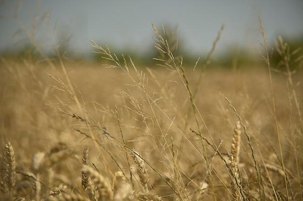 作物自体の植物への栄養を奪う大麦の栽培における雑草。
