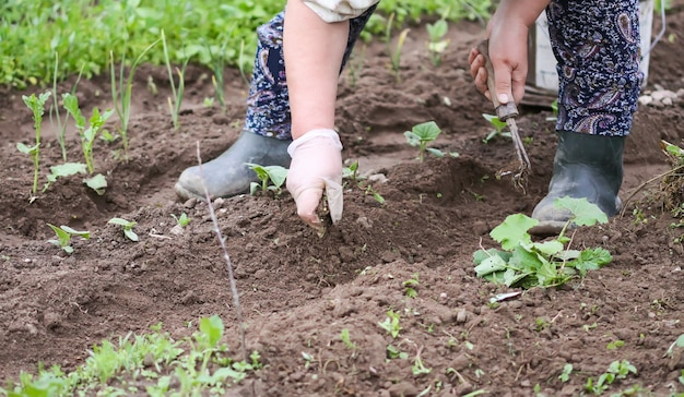 家庭菜園での除草。若い野菜。