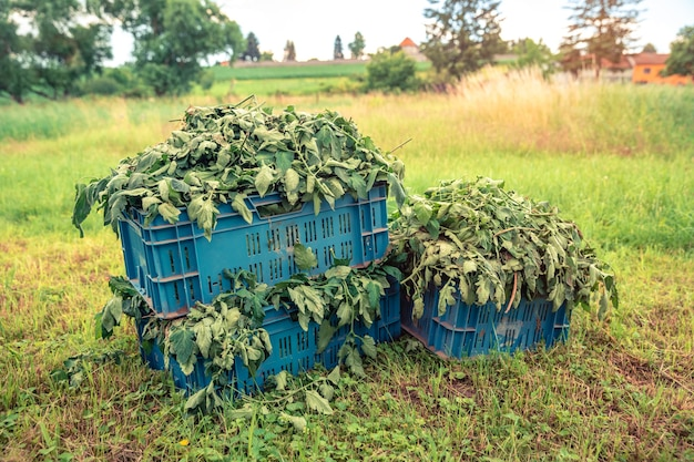 Weeds in crates in a field on a farm.