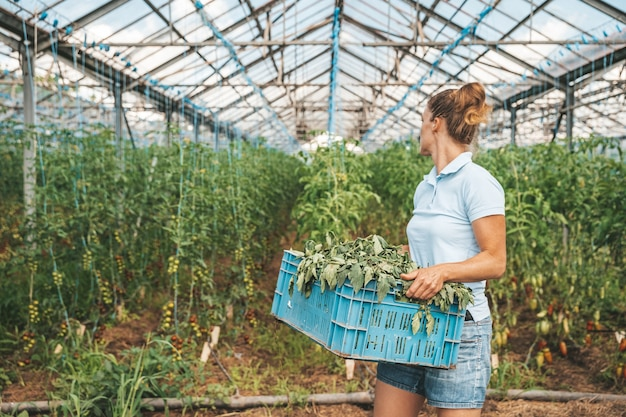 Weeds in vegetables in a greenhouse, growing tomatoes