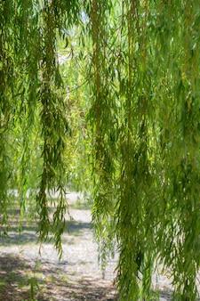 公園のシダレヤナギの枝