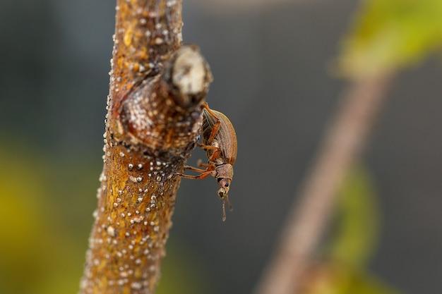 Жук-долгоносик ползет по ветке весной вредители садовых растений
