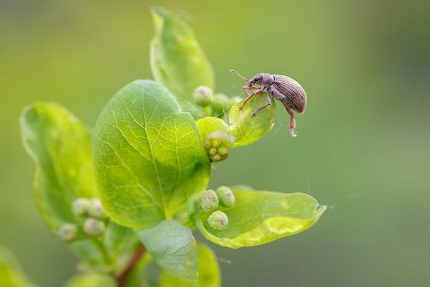 Жук-долгоносик весной садится на лист спиреи. садоводство, вредители растений.