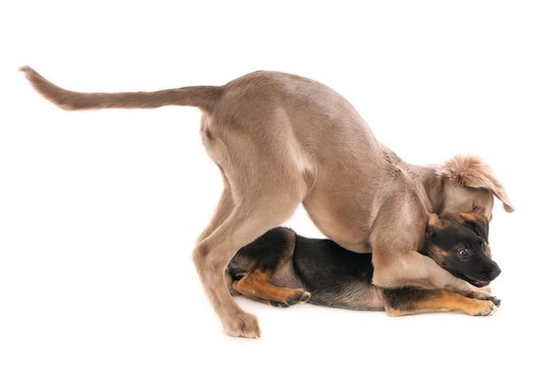 遊び心のある戦いでワイマラナー犬と雑種の子犬。白で隔離。