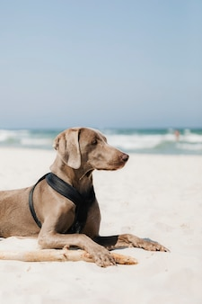 Weimaraner dog relaxing in the sand at the beach