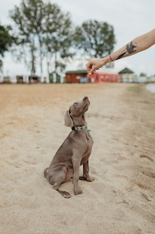 Weimaraner dog sitting and waiting for the owner on a sand