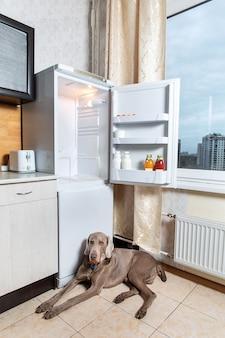 オープン冷蔵庫のそばのタイル張りの床に横たわっているオレンジ色の襟のワイマラナー