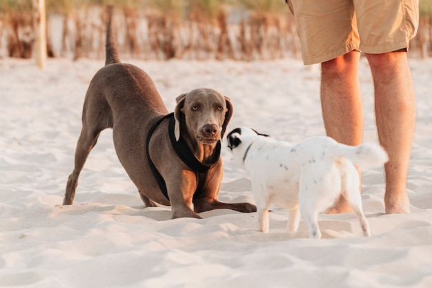 Weimaraner and jack russell terrier playing together at the beach