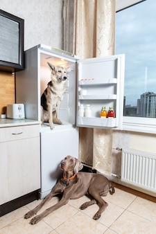 Weimaraner in orange collar lying on tiled floor while friend dog sitting inside of refrigerator
