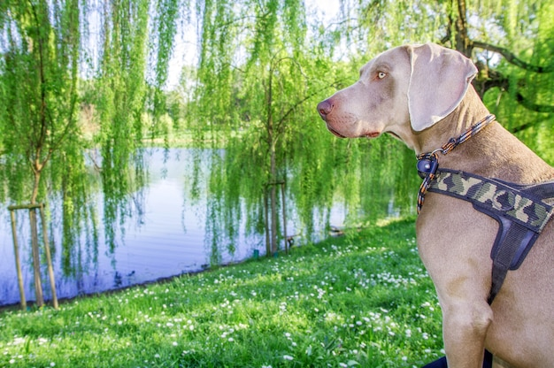公園のワイマラナーの犬
