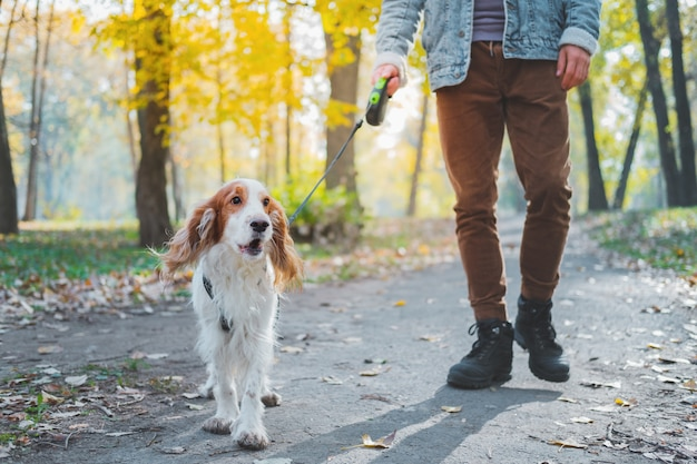 Well behaved family dog at a walk in the park. man walks his spaniel on the leash outdoors
